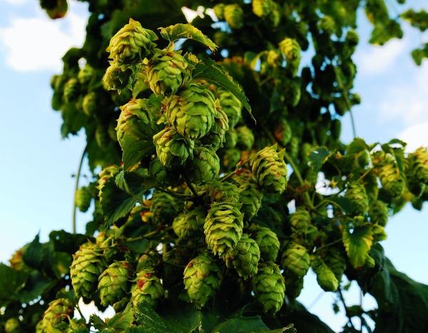 hops-1683884_1920